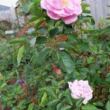 Gardening 2011 - 100_6956.JPG