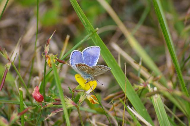 Polyommatus bellargus ROTTEMBURG, 1775, mâle. Hautes-Lisières (Rouvres, 28), 26 juillet 2010. Photo : J.-M. Gayman