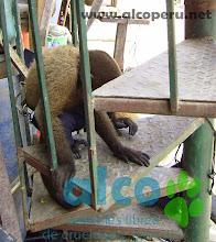 Mono Lanudo plateado amarrado (5)