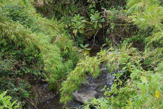 Bambous chusquea. La Merced de Buenos Aires, 2250 m (Imbabura, Équateur), 24 novembre 2013. Photo : J.-M. Gayman