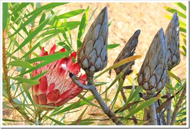 160813_UCSC_Arboretum_Protea-repens-Rubens_004