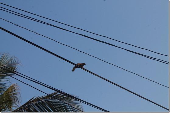 Пальмова білка