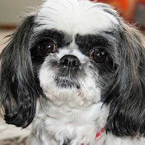 ~Missy~ by Shelly B. - Animals - Dogs Portraits ( love, animals, family, puppy, dog, eyes )