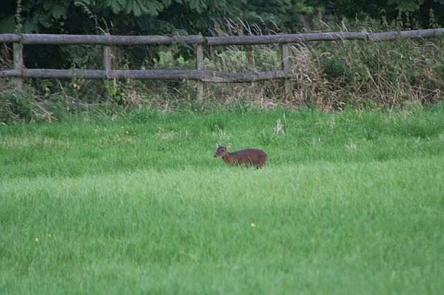 Woodhurst Wildlife Muntjac In The Grassfield - muntjac25.jpg