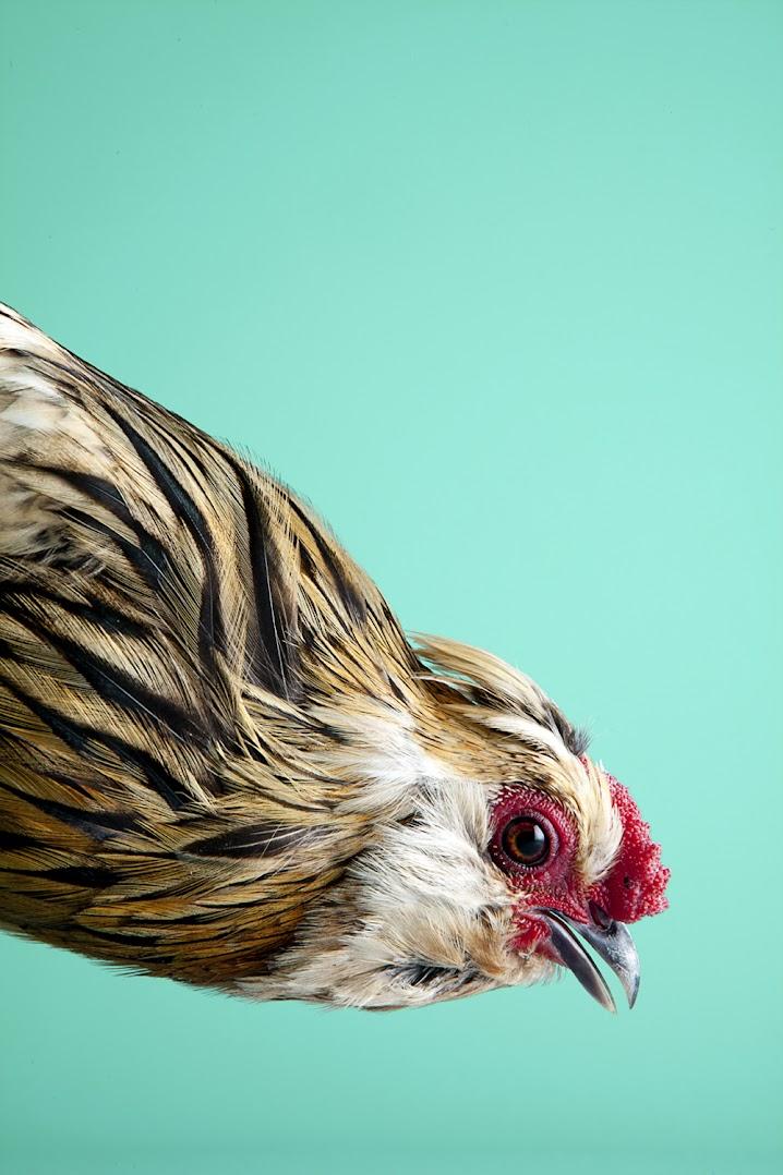 *MITCH PAYNE:現代家禽攝影系列 2
