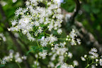 Tall meadow rue (Thalictrum pubescens).