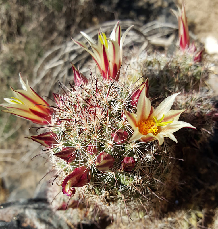 Blooming Fishhook Cactus in Hornblende Canyon - Anza Borrego