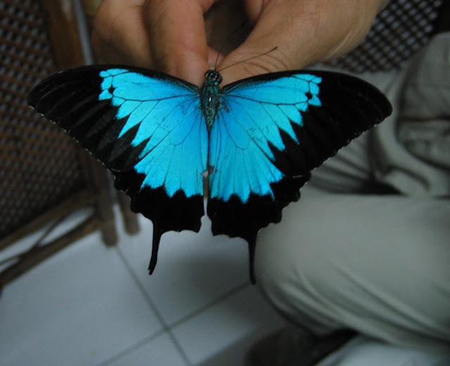 Papilio ulysses autolycus C. & R. FELDER, 1865. Gunung Meja, Manokwari, 17 août 2007. Photo : G. Bellanger