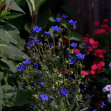 Gardening 2011 - 100_8599.JPG