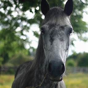 Hi there by Annie Japaud - Animals Horses ( horse, grey, portrait, animal,  )