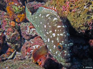 Epinephelus%20labriformis_Galapagos