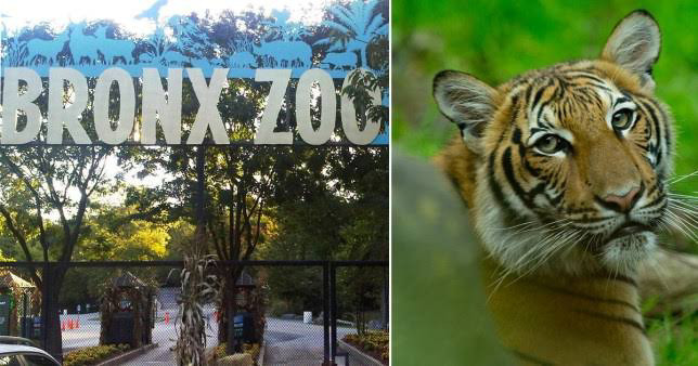 Tiger tests positive for coronavirus at the Bronx Zoo in New York City