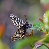 Zerynthia cassandra (GEYER, 1828), mâle. Parco Naturale Monti Livornesi, 11 avril 2014. Photo : L. Voisin