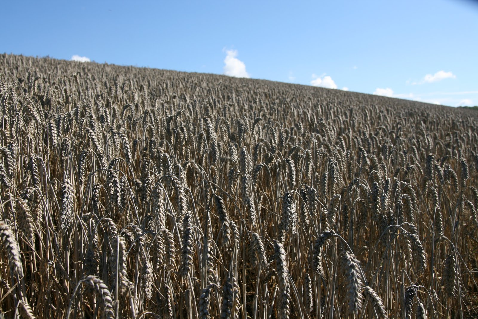 1008 066 Alton Circular, Hampshire, England Wheat past it's prime