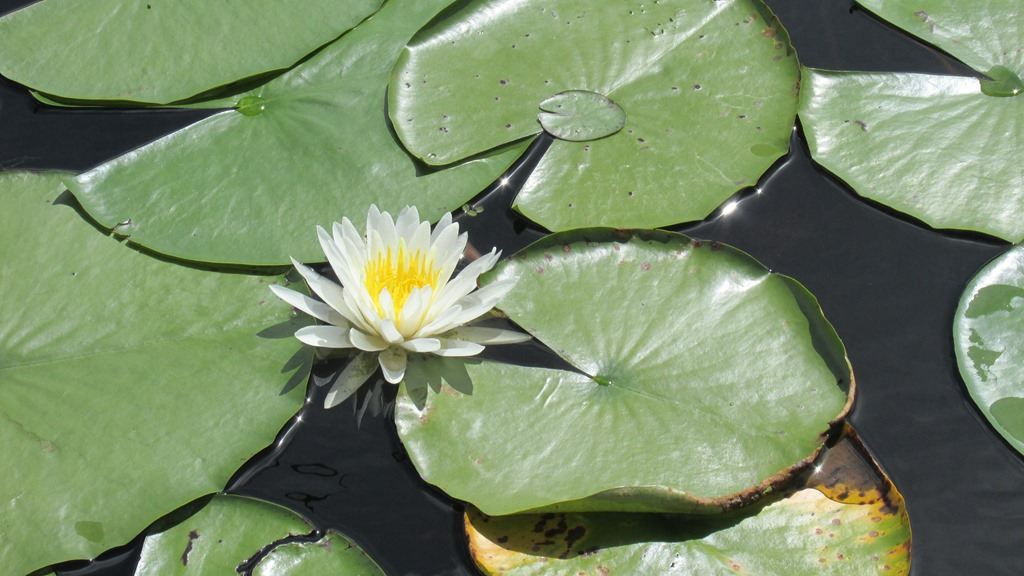 [Water+Lily+Flower+Plant+%283%29%5B9%5D]