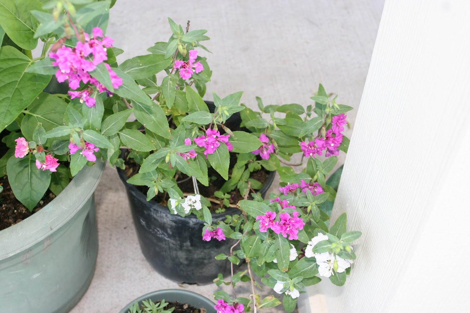 Gardening 2012 - IMG_2902.JPG
