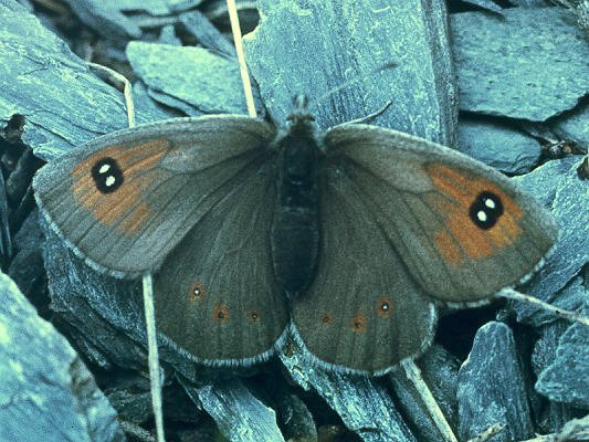 Erebia callias altajana STAUDINGER, 1901, femelle. Versant oriental des Monts Katunskij, Altaï. 15 juillet 1998. Photo : O. Kosterin