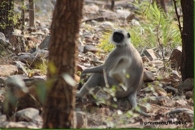 Safari-Langur
