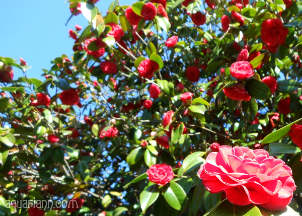 Red Camellia Bush Photo