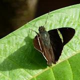 Autochton longipennis PLÖTZ, 1882. RN2 près de la Rivière Comté (Guyane), 17 octobre 2011. Photo : C. Chazal