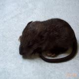 Imagine, rat sauvage au coeur domestique SVGImagine