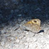 Lasiommata maera maera (L., 1758). Tras le Mont, 800 m, Cocurès (Lozère), 10 août 2013. Photo : J.-M. Gayman