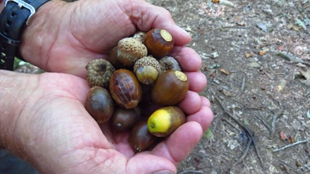 acorns at Bear Hair Gap trail