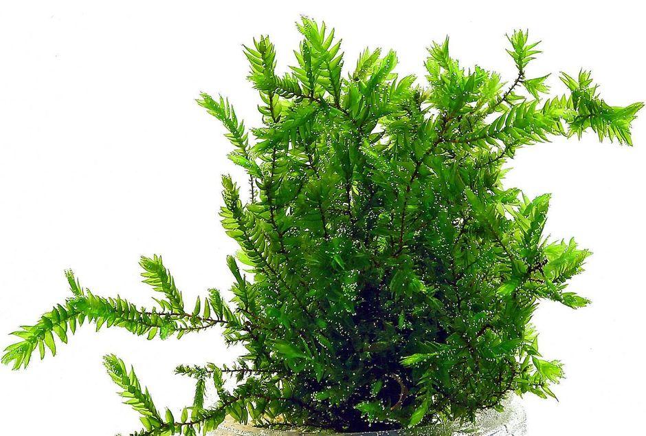 Фонтиналис противопожарный (Мох ключевой, Willow Moss) (Fontinalis antipyretica)
