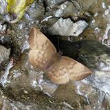 Hesperiidae : Achylodes pallida R. FELDER, 1867. Taipiplaya (alt. 900 m). Bolivie, 11 janvier 2008. Photo : J. F. Christensen