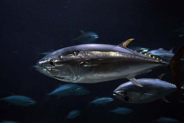 Pacific bluefin tuna. Photo: Yasuki Ichishima /  Flickr