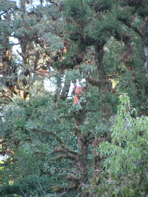 one of the villiage women high in a tree