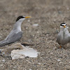 Least Tern (family)