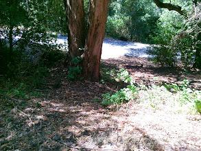 Photo: Poison oak at the base of the eucalypti.