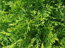 FraserValleyCedars-EmeraldCedarFoliage