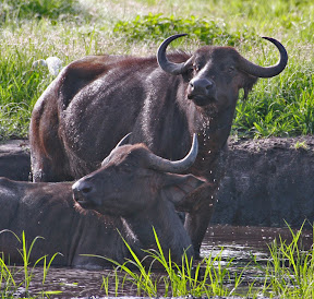 Cape Buffalo Pair, Zimbabwe