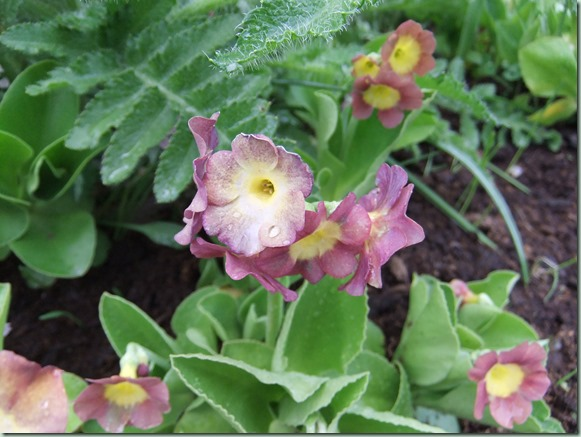 Primula x pubescens mix