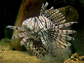 Lionfish by John Powell EFIAP DPAGB BPE4