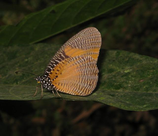 Satyrinae : Elymniopsis bammakoo WESTWOOD, 1851. Atewa Hills (Ghana), 26 décembre 2009. Photo : Henrik Bloch
