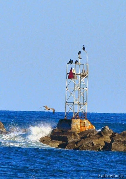 8. great cormorants-kab