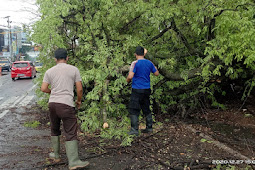 Angin Kecang  Satu Pohon Asam Besar Tumbang, Menutup Jalan Raya Warungdowo