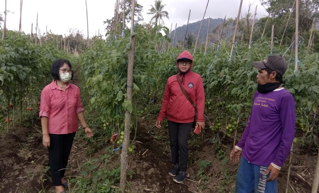 Penyuluh Pertanian Rohan Liwe Setia Dampingi Petani Panen Tomat di Tengah Pendimi Covid-19