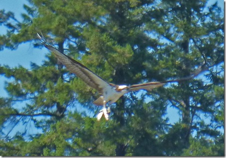 Osprey with fish, Huntley Park