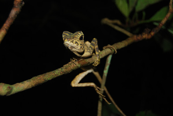 Borneo Futures - Science for Change - Reptiles and ...