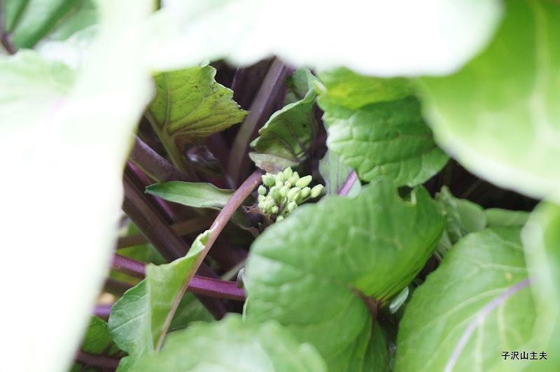 1月29日の紅菜苔