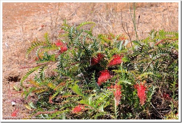 160813_UCSC_Arboretum_Grevillea-Boongala-Spoonbill_006