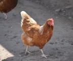 【悲報】チキンナゲットの半分以上は鶏肉ではなく、ほとんどが脂肪