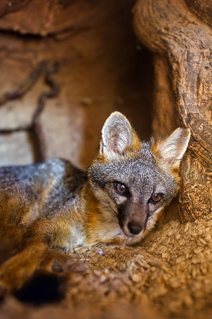 Gray Fox at the Las Vegas Springs Preserve.