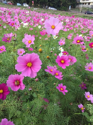 The cosmos fields in Kin, Okinawa bloom in between rice crop harvests and are a great place to get photos!