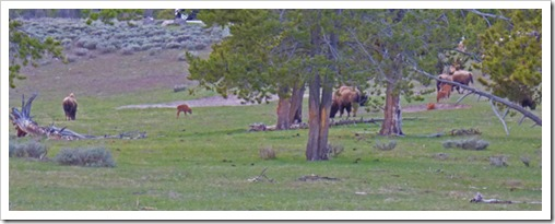 Buffalo, between West Entrance and Madison Junction, Yellowstone May 2016