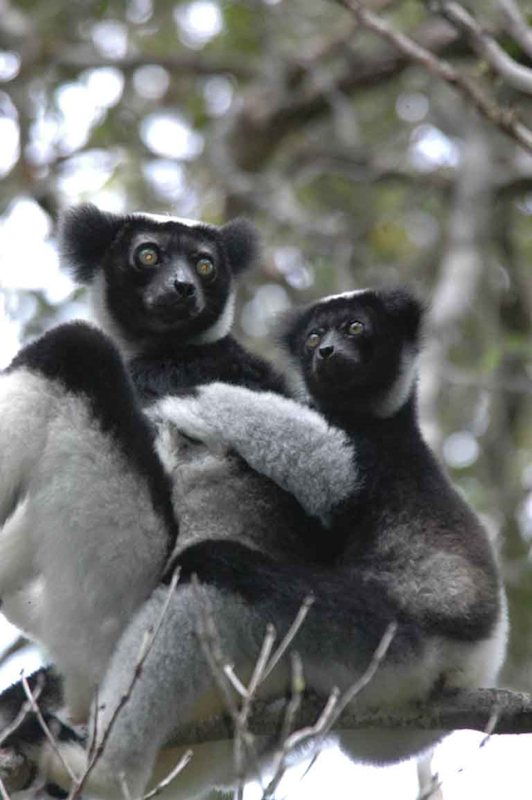 Indri female and young at Analamazaotra Special Reserve in Andasibe, Madagascar. 95 percent of all known lemur species and subspecies — might qualify as critically endangered, endangered, or vulnerable to extinction in the wild. Photo: Russ Mittermeier